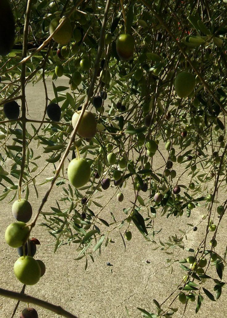 Sicilie olijven