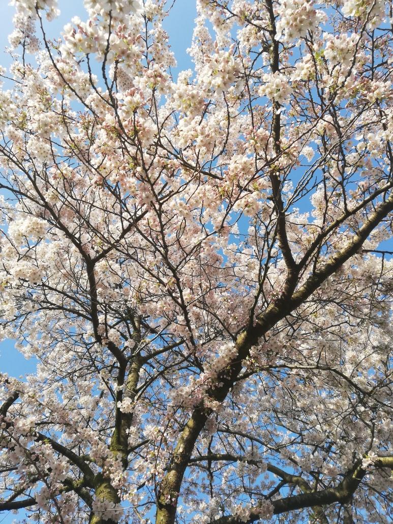 bloesem maart