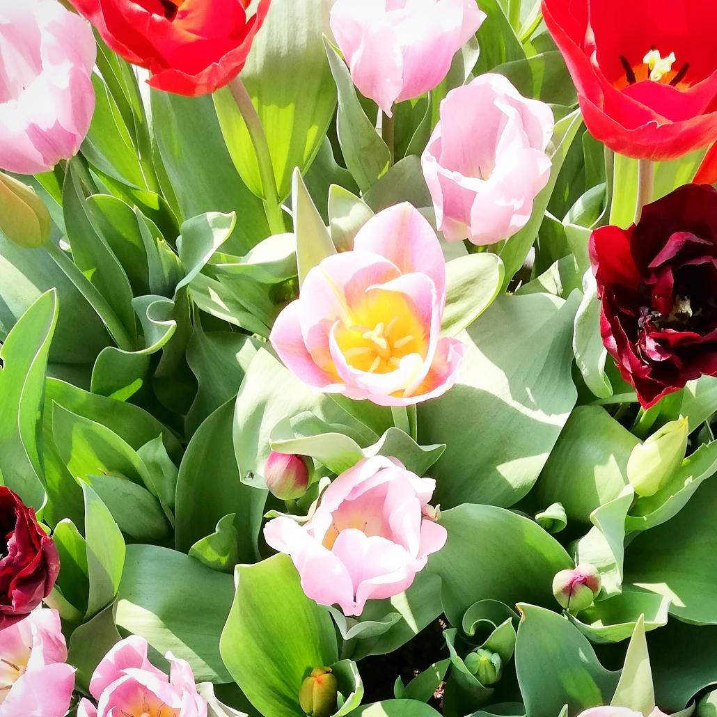 lente tulpen zomertijd