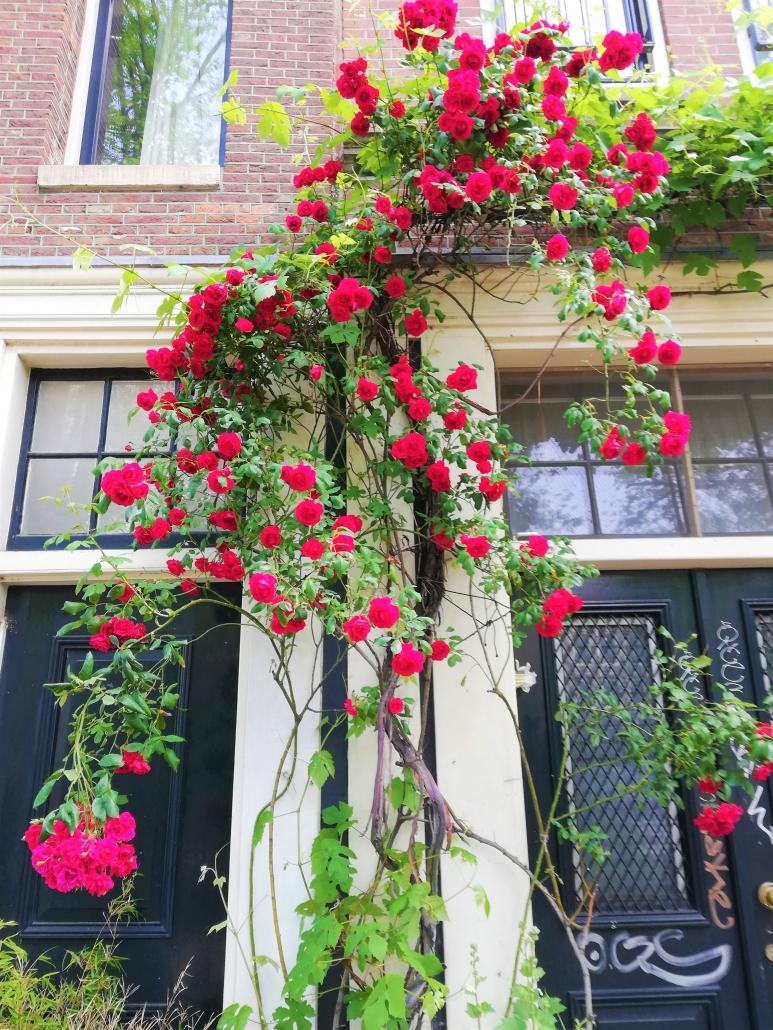 roses Jordaan