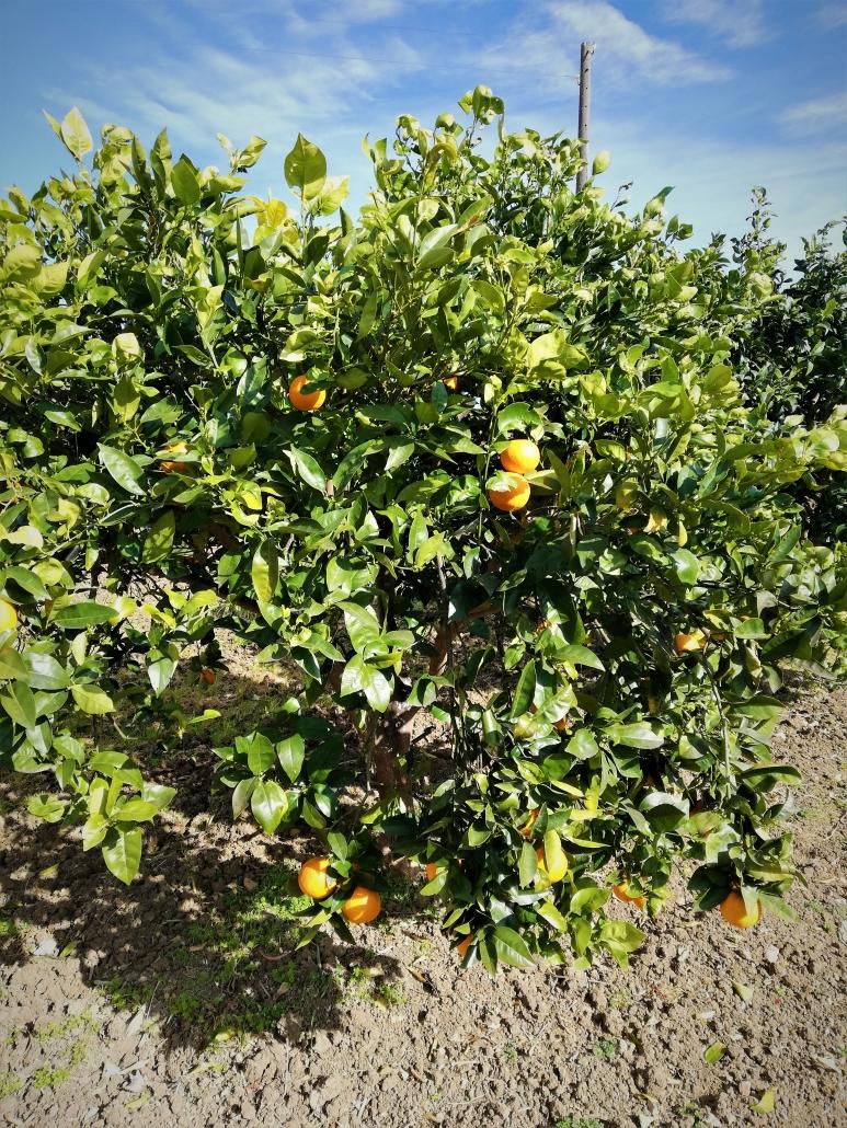 sinaasappels sicilie